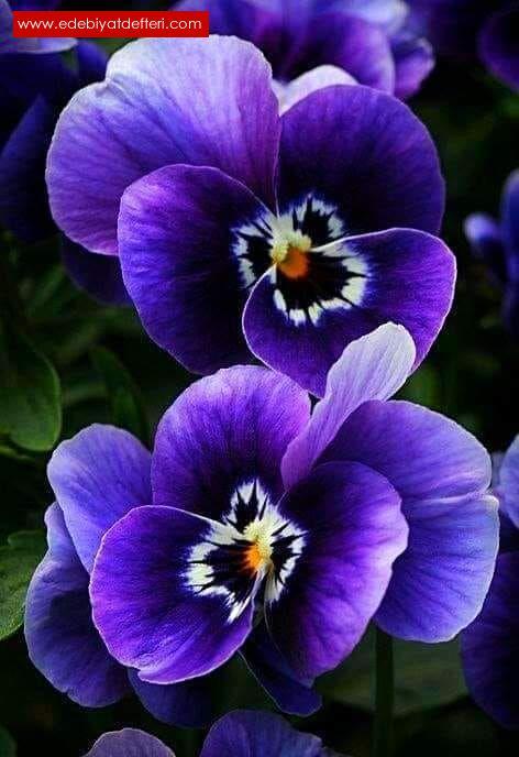 Nar çiçeğim, Yaban gülüm, Buram buram  Mor menekşem...