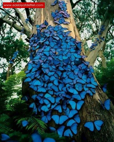 Mavi kelebeklerin lavinia aşkına hüznün karışımı