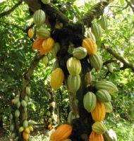 Kakao ağacından çikolata toplamaya!