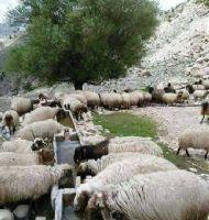 Çoban (8)