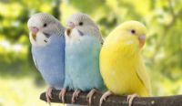 Muhabbet kuşunun ölümü